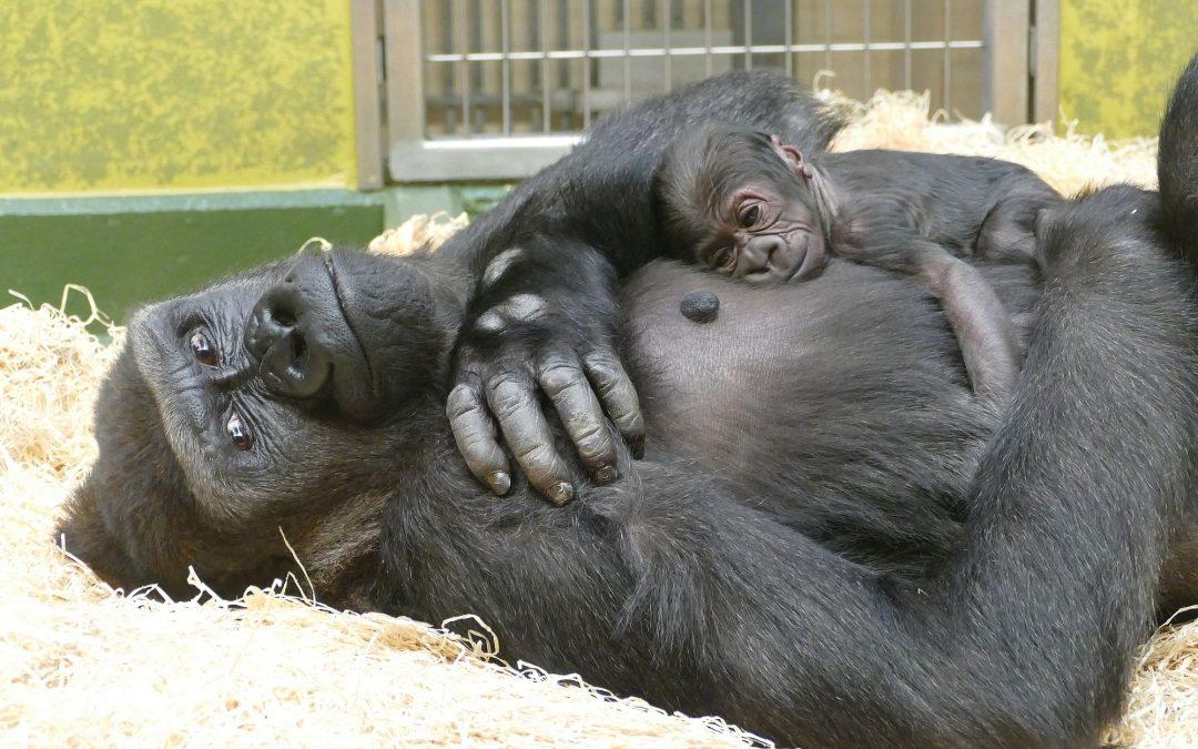 Familien im Tiergarten: Kato und seine Gorillafamilie
