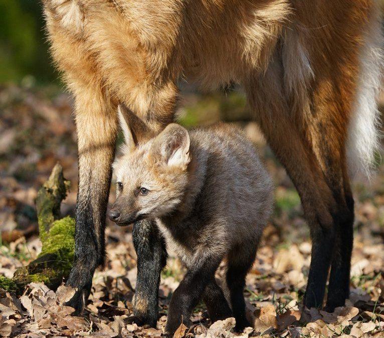 Mähnenwölfe im Tiergarten: Mutter, Vater, Drillinge