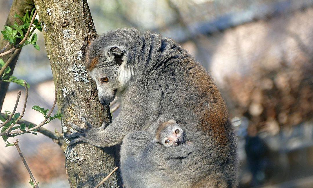 Kronenmakis im Tiergarten: Hier hat Mama das Sagen